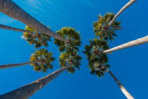palm trees1